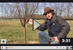 How to Prune a Mature Pear Tree in Early Spring Video
