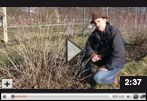 How to Prune Currants in Early Spring Video