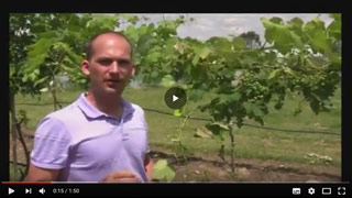 How to Care for Grapes - Fruit Thinning