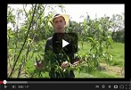 How to Thin Fruit, Basic Fruit Thinning Tips