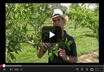 How to Thin Fruit on Apple Trees