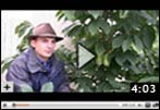 When to Pick Pawpaw Fruit Video