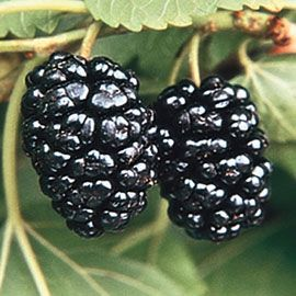 Hardy Mulberry