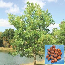 Henry Field's Hardy Pecan Tree  - 1½ ft.