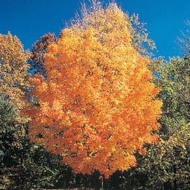 Henry Field's Sugar Maple Tree  - 3- 4 ft.