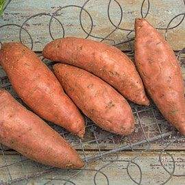 Bush Porto Rico Sweet Potato
