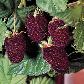 Thornless Boysenberry