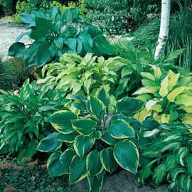 Henry Field's Shady Places Hosta Mix