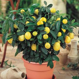 Henry Field's Dwarf Meyer Lemon