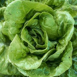 Henry Field's Buttercrunch Lettuce