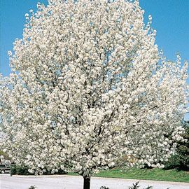 Cleveland Ornamental Pear Tree