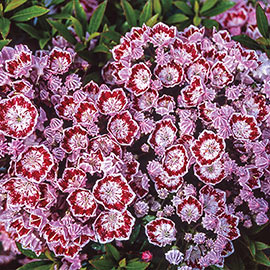 Minuet Mountain Laurel