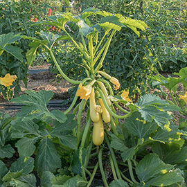 Smooth Criminal Hybrid Summer Squash