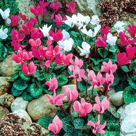 Hardy Cyclamen Mix