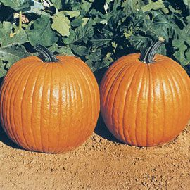 Henry Field's Gurney's<sup>&reg;</sup> Giant Magic Hybrid Pumpkin  - Pkt.