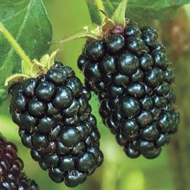 Prime-Ark<sup>&reg;</sup> Freedom Thornless Blackberry
