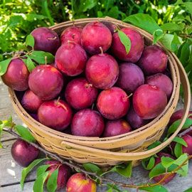 Henry Field's Alderman Plum Tree - Semi-Dwarf 2-4 ft.