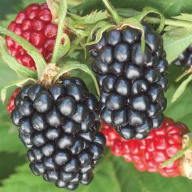 Apache Thornless Blackberry