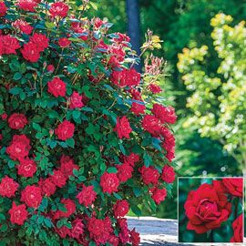 Rose Knock Out® Red Double