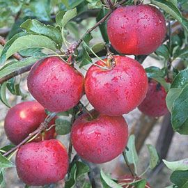 Henry Field's Pixie Crunch<sup>&trade;</sup> Apple Tree - Li'l-BIG 2-3 ft