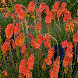 Poker Face Kniphofia