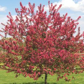 Prairie Fire Crabapple