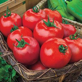 Henry Field's Giant Beef Hybrid Tomato