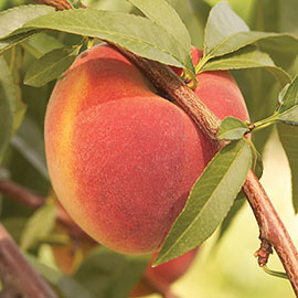Contender Reachables® Peach Tree