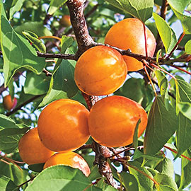 Honey Pearls™ Reachables® Nectacot Tree