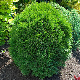 Little Giant Arborvitae Starter Hedge