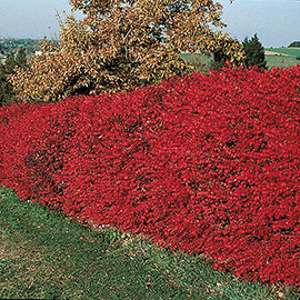 Burning Bush Starter Hedge