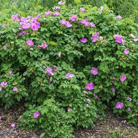 Sweet Hips® Rugosa Rose