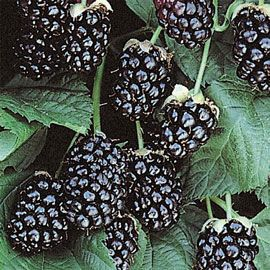 Arapaho Thornless Blackberry