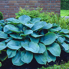 Colossal Blue Hosta