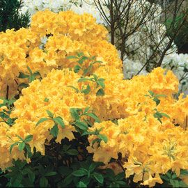 Golden Lights Hardy Azalea
