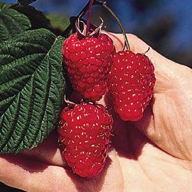 Mammoth Red Raspberry