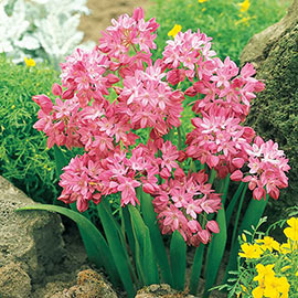 Alpine Rosy Bells