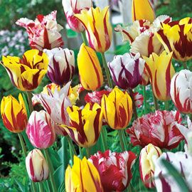 Henry Field's Rembrandt Tulip Mix