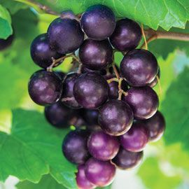 Black Fry Grape