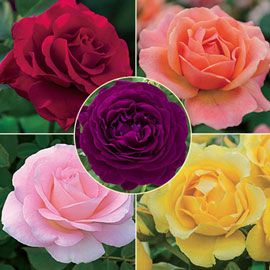 Other Roses