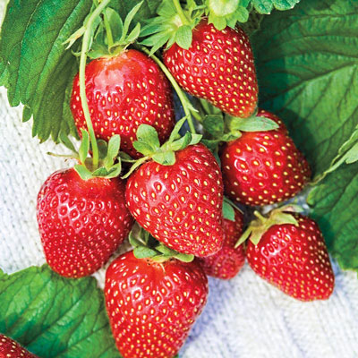Mara Des Bois Everbearing Strawberry