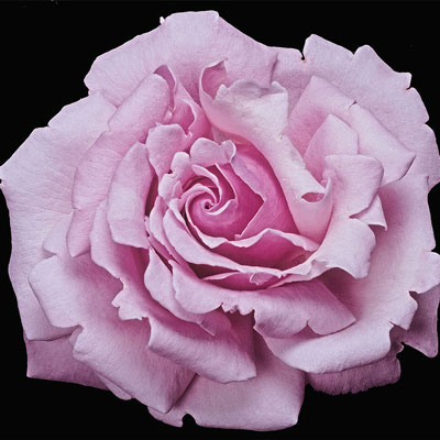 Memorial Day™ Hybrid Tea Rose