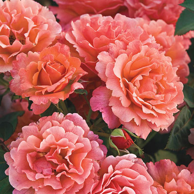 Easy Does It® Floribunda Rose