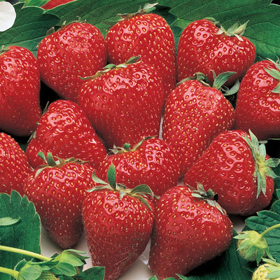 Surecrop (Junebearer) Strawberry
