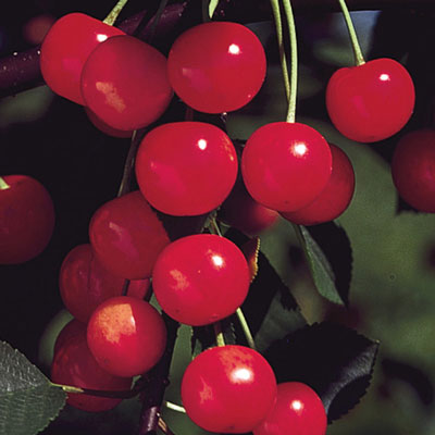 North Star Pie Cherry Tree