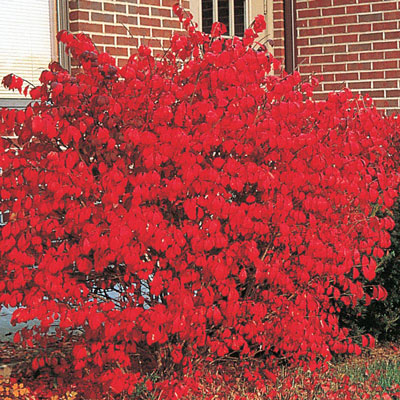 Dwarf Burning Bush