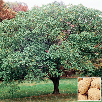 Hardy English Walnut Tree