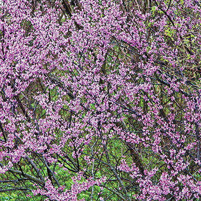 Redbud Flowering Tree