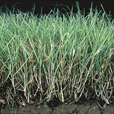 Buffalo Grass Henry Field S Seed Amp Nursery Co
