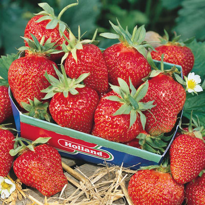 Fort Laramie Everbearing Strawberry